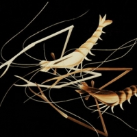 Reed painting of prawn PS Post-mapping download